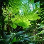Farne im Australischen Regenwald